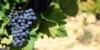 Rotweintrauben in Frankreich
